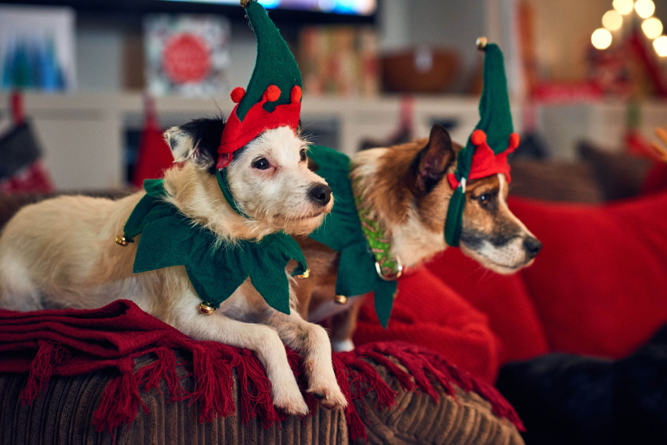 Dogs dressed up in elf hats watch the first Christmas film for dogs called 'Merry Woofmas' narrated by Louis Walsh