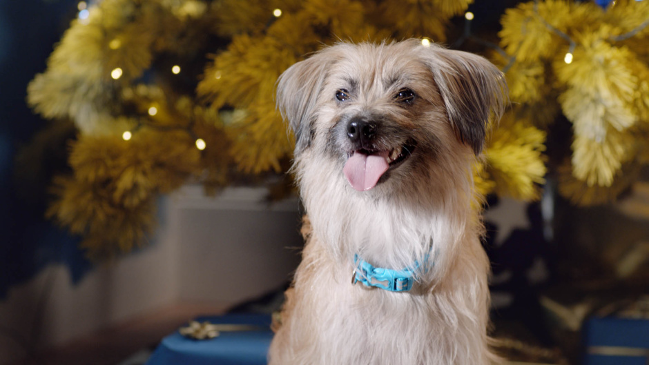 Holly, the Pyrenean Sheepdog, just wants a big fat juicy bone for Christmas in Merry Woofmas, the first Christmas film made for dogs and narrated by Louis Walsh